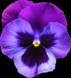 Large Transparent Purple Violet Flower PNG Clipart | Gallery ...