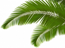 Palm branch Arecaceae Leaf Frond Clip art - Green coconut leaves 859 ...