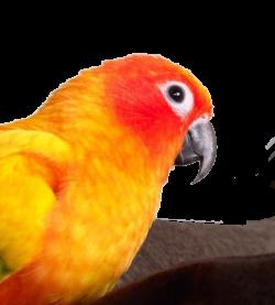 Parrots Abg Aji: Pengenalan Asas Sun Conure