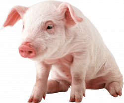 sitting baby pig PNG Image - PurePNG | Free transparent CC0 PNG ...
