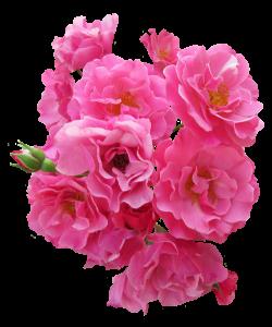 15 Pink flower png for free download on mbtskoudsalg
