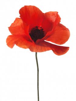 poppy - Google Search | Painting ideas | Pinterest | Foundation ...