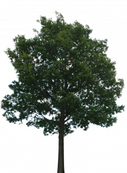 Tree with transparent background. No roots so you'll want to hide ...