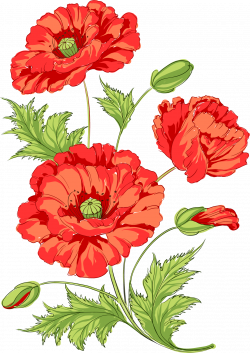 Poppy Flowers Common poppy Opium poppy - Watermelon red chamomile ...
