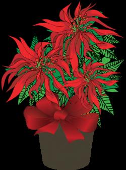 ForgetMeNot: Poinsettia in pots