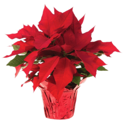 Pot Of Poinsettias transparent PNG - StickPNG