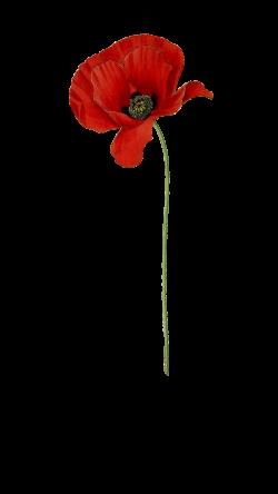 Anzac Flower Poppy Choice Image - Flower Decoration Ideas