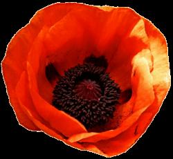 Oriental Poppy by jeanicebartzen27 on DeviantArt