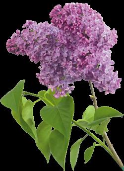 Purple Transparent Lilac Clipart | Transzfer | Pinterest | Lilacs ...