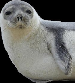 Harbor seal animal PNG images free download