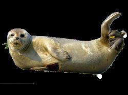 Seal Animal PNG Transparent Seal Animal.PNG Images. | PlusPNG