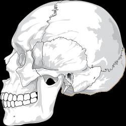 Unlabled Skull Clip Art at Clker.com - vector clip art online ...