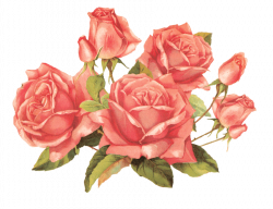 Rose transparent PNG images - StickPNG