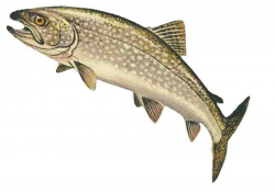 Lake Trout Clipart